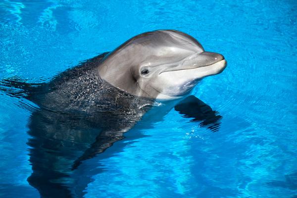 Entrenan delfines para cuidar a la vaquita marina