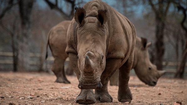 Los rinocerontes usan el estiércol como redes sociales, según un estudio