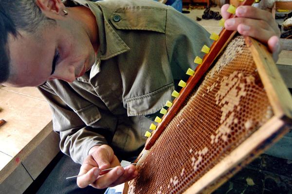 Alarma en la Casa Blanca por declive de abejas en EEUU