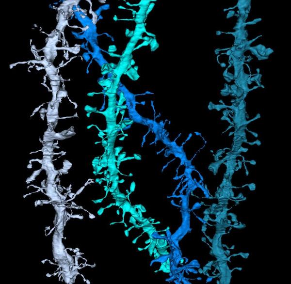 Las sinapsis cerebrales se encogen durante el sueño