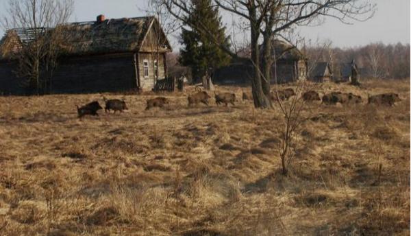Los mamíferos regresan a Chernóbil, a pesar de la radiación constante