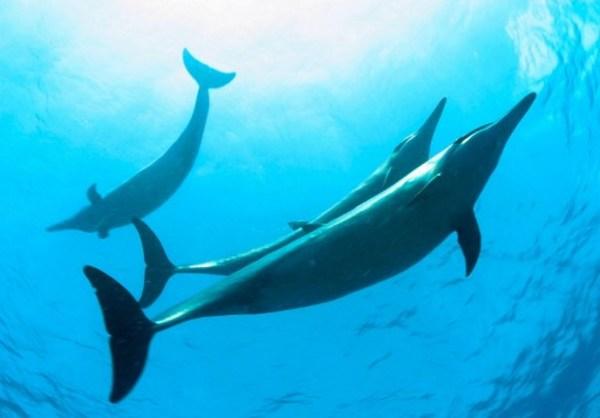En Hawái quieren prohibir el nado con delfines