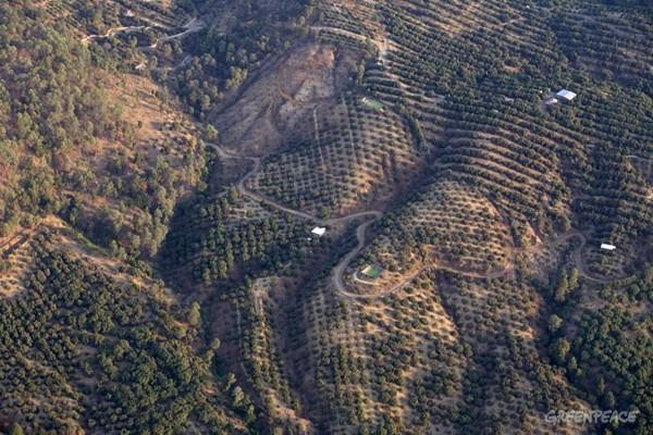El alza de precio en el aguacate acelera la deforestación