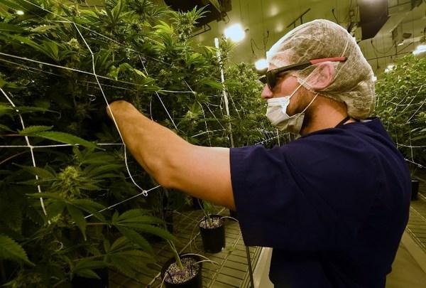 Legalización de marihuana en EE.UU. registra apoyo récord