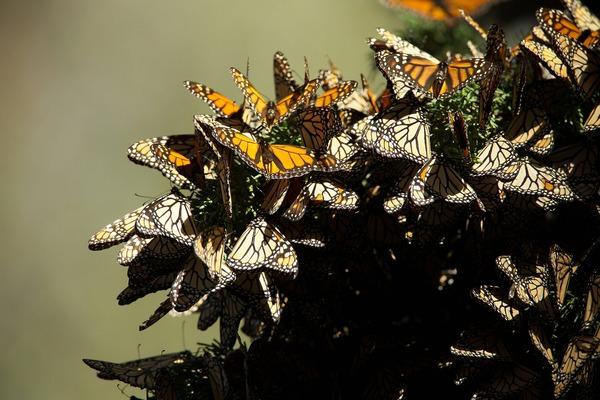Se cuadruplicará migración de mariposa Monarca a México