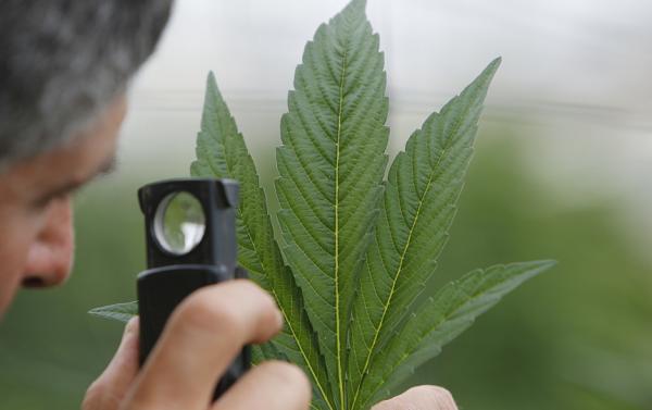 DEA autoriza producción de mariguana sintética a farmacéutica