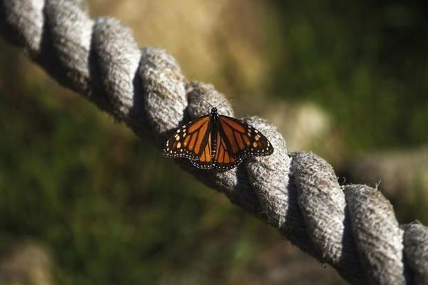 Mariposas genéticamente modificadas, creadas naturalmente